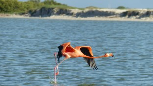 A l'envol, ils courent sur l'eau: magnifique!