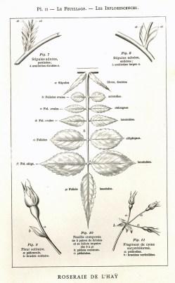 1906 Manuel pour la description des rosiers Pl2_wp
