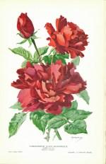 1912 SNHF - Les plus belles roses p. 113A 2 - Commandeur Jules Gravereaux_wp