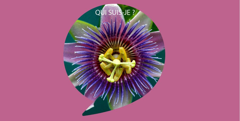 La Passiflore, ingredient phare de notre ligne de slow cosmetique, bio et vegan