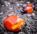 Fruit du palmier à huile dont on extrait l'huile de palme