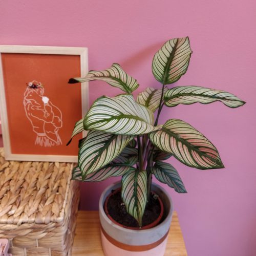 Calathea Whitestar