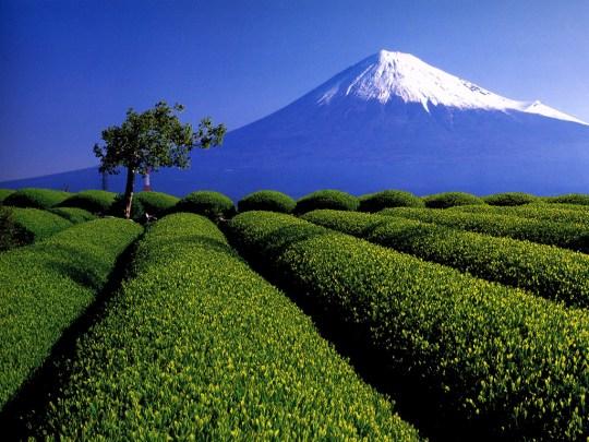 Shizuoka, la région du thé.