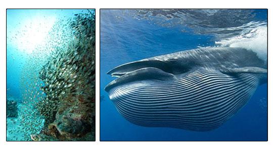 Baleine-&-corail