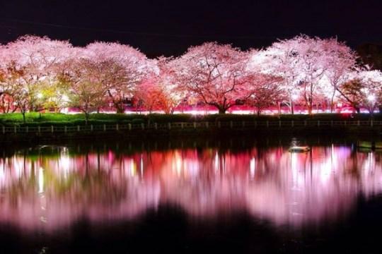 Magnifique scène de cerisier au Parc Omura de Nagasaki - Junichi Kato