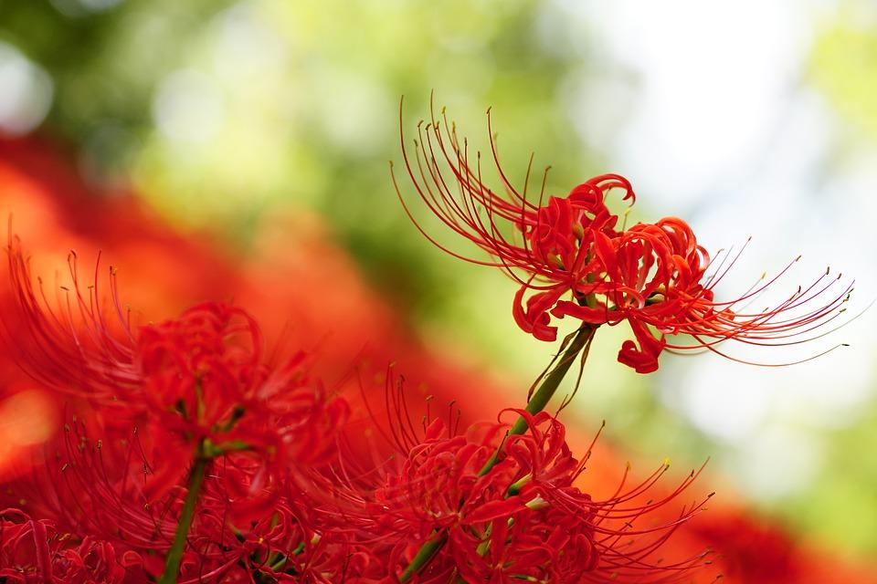 Demandes de rang - Page 5 La-fleur-de-Higanbana-1
