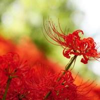 la fleur de Higanbana