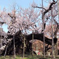Le Jindai Sakura