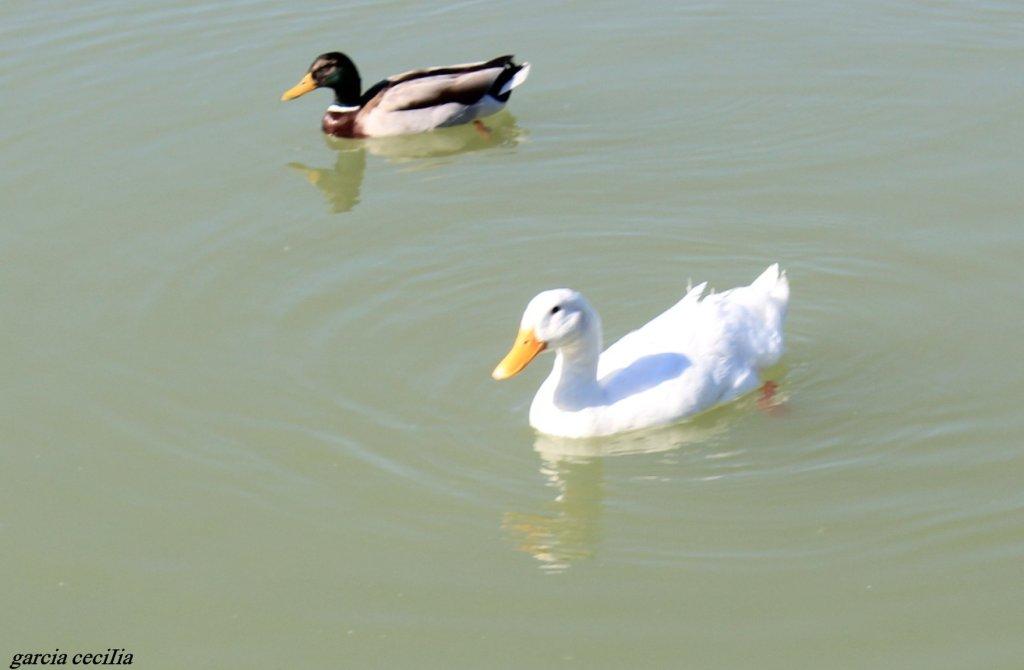 Les canards à l'étang