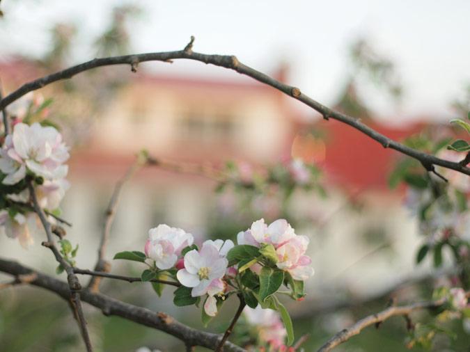 appleblossomhome