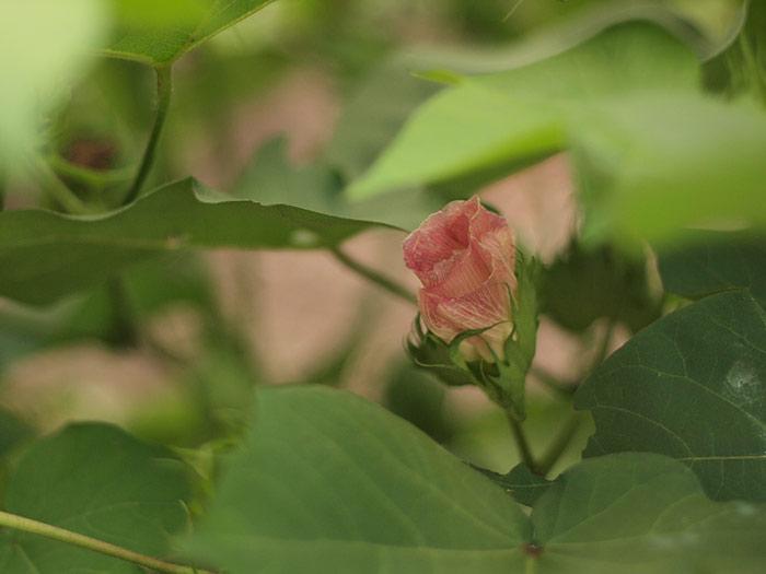 cottonblossom