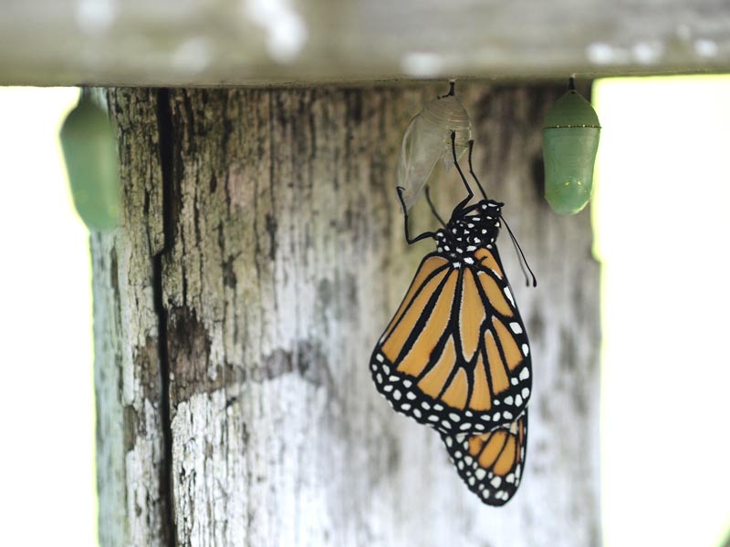 monarch-and-chrysalises-empty