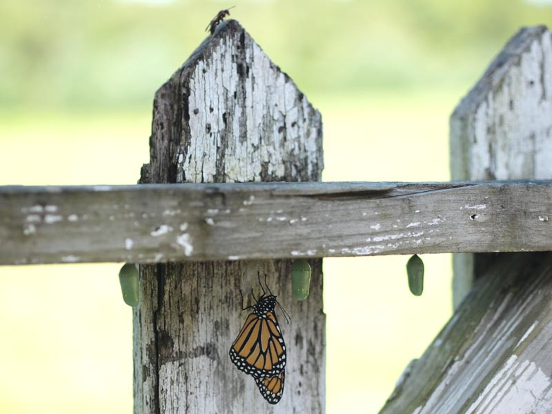 monarch-and-chrysalises-four