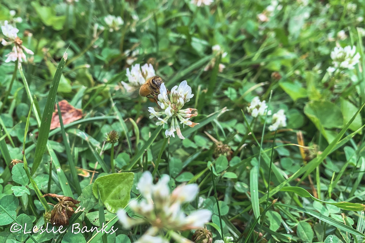 Bees on Clover