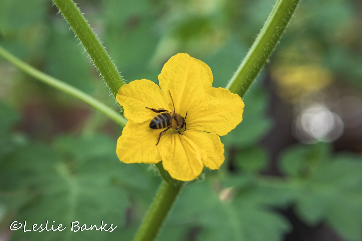 Bee Pollinating Cucumber Plant