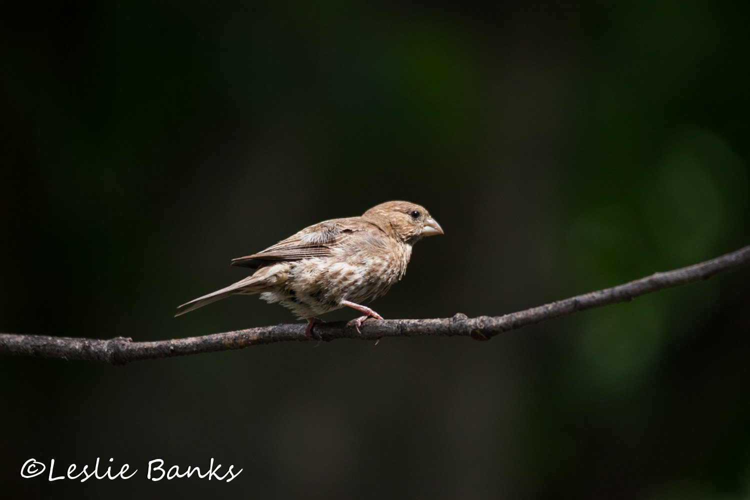 Song Sparrow in a Tree