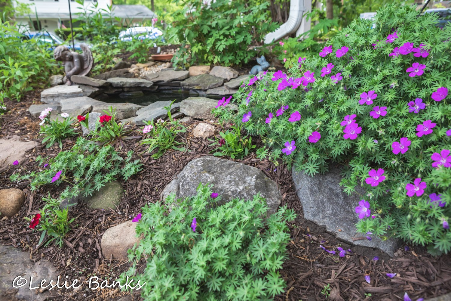 Hardy Geraniums in Bloom