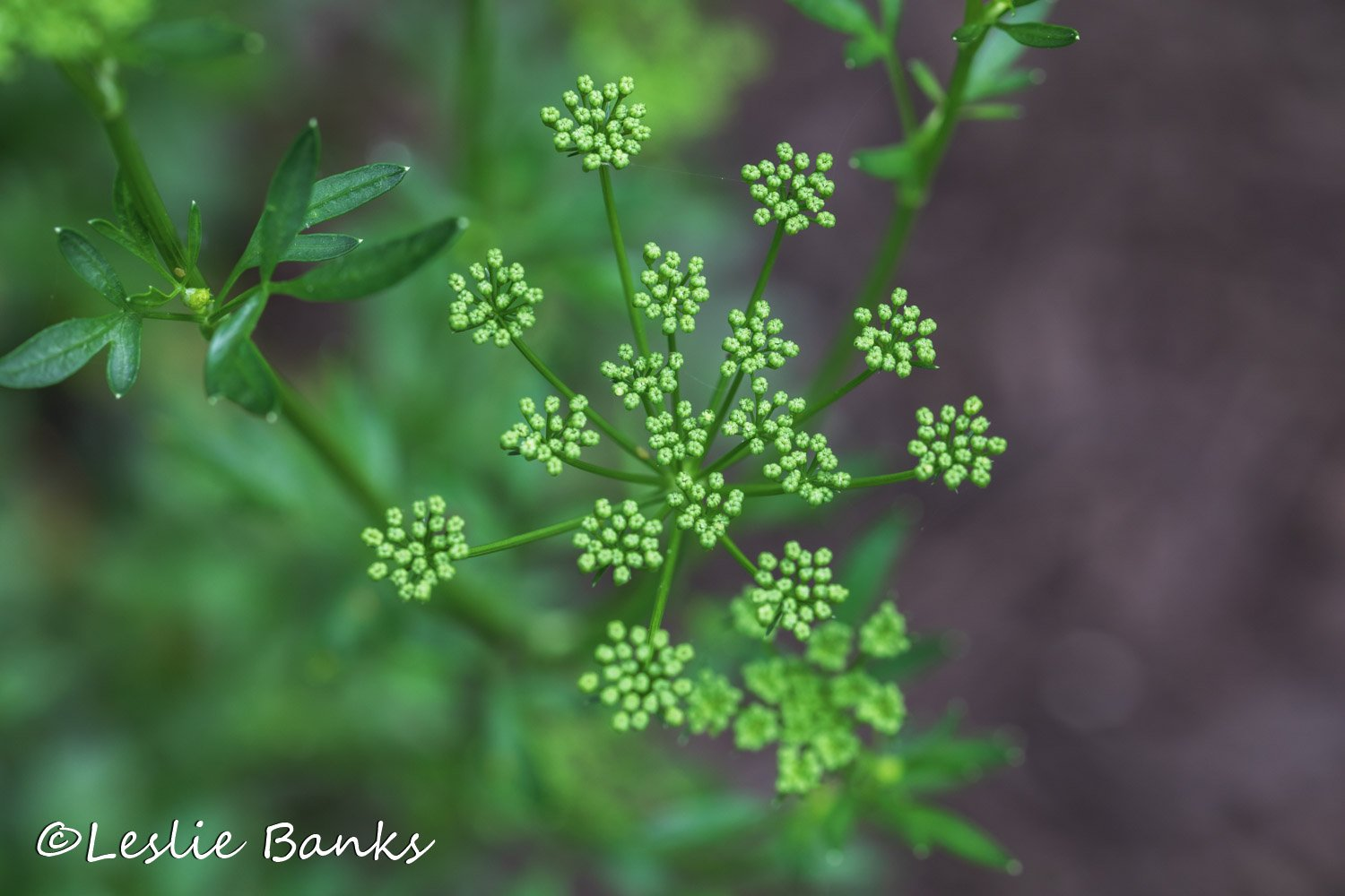 Parsley Going to Seed