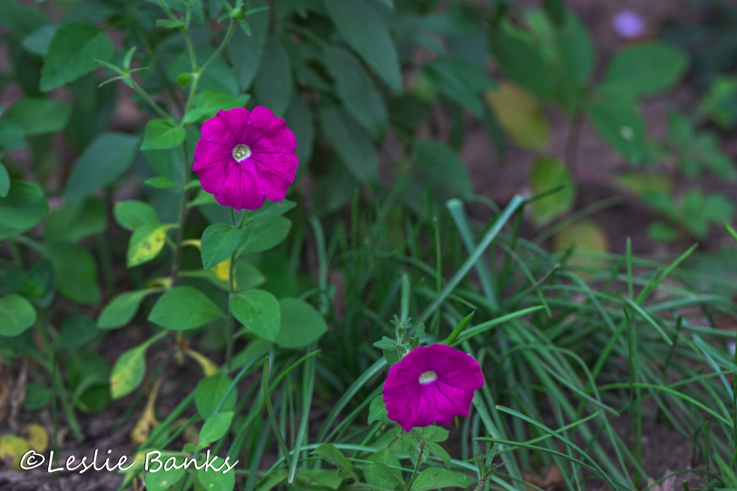 Petunias Started from Seed
