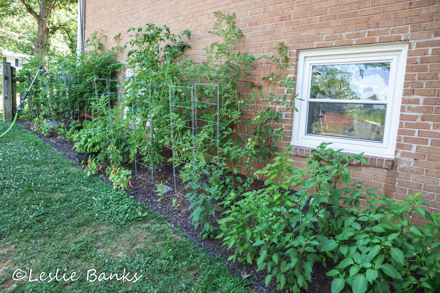 Tomato and Pepper Plants