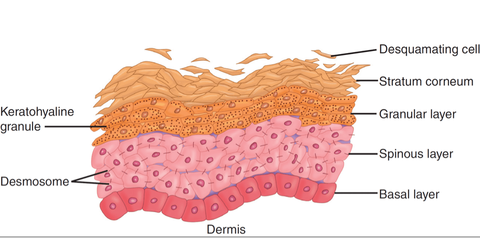 7 layers of skin diagram wiring lights and outlets on same circuit the 5 your dr leslie baumann become a guru learn more about each epidermis why they are so important for s health