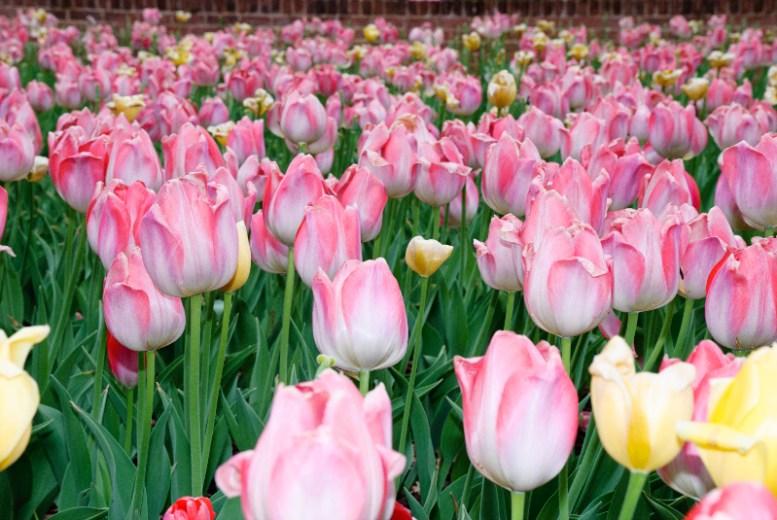 Chihuly tulips atlanta botanical gardens