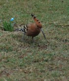 Hoopoe, Agra, India