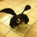 Un chien chauve souris, costume cousu par mon chéri aussi