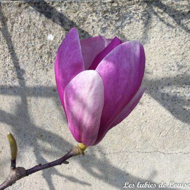 Le magnolia fleurit