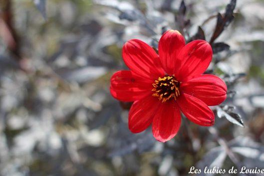2016-08-25- Centaurée fleurie- les lubies de louise-36