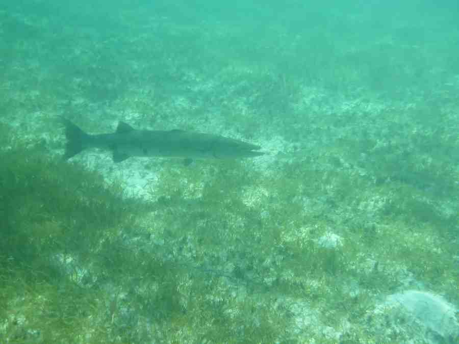 Poisson durant la plongée