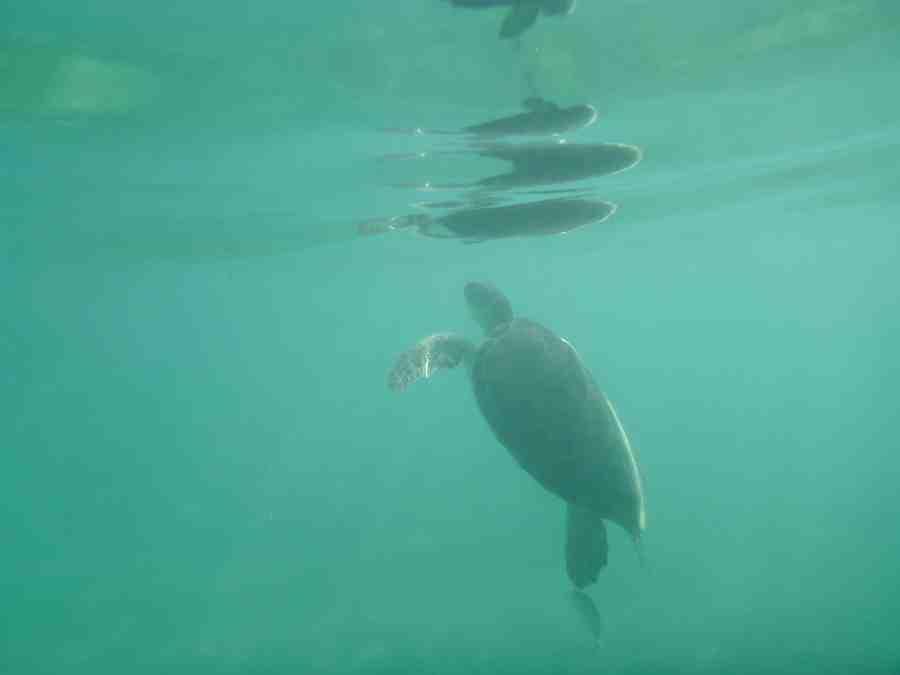tortue en mer à Akumal