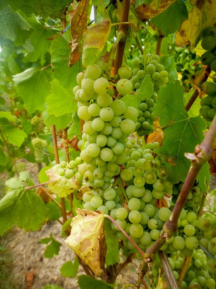 alsace-route des vins-vignes-france-raisins