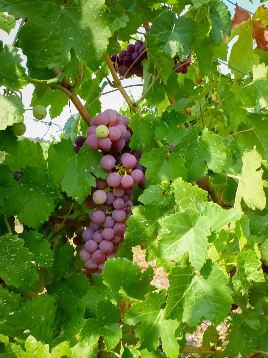 route des vins-alsace-france-obernai-sentier viticole-vignes-raisins