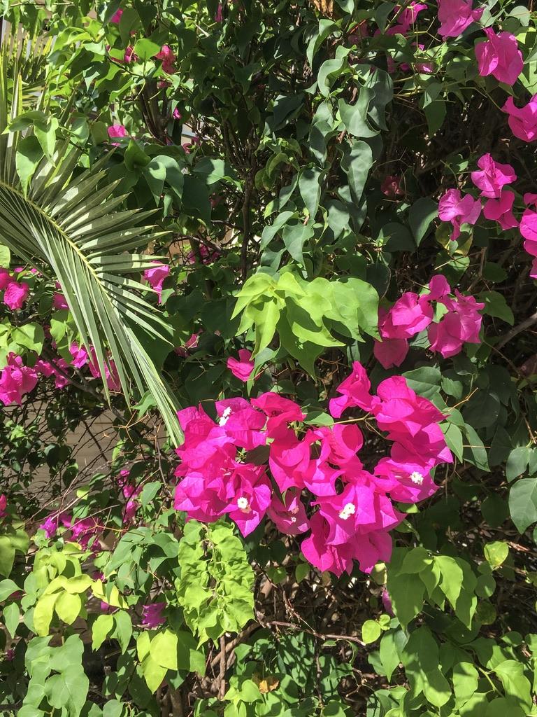 jardin-botanique-nature-fleur-caraibes-guadeloupe-basse terre-vegetation-bouganivillier