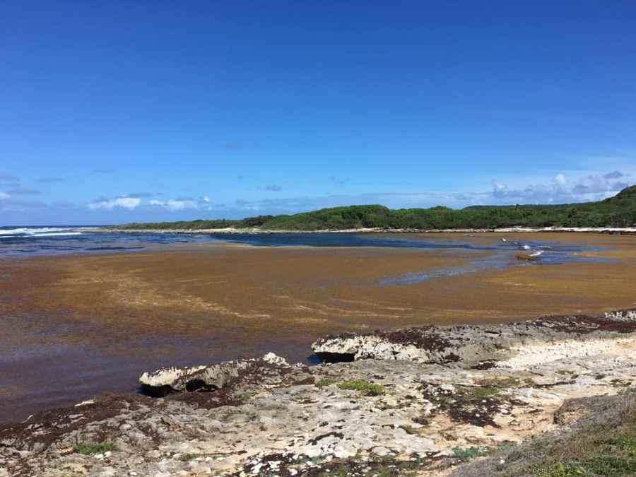 anse à l'eau-plage-sargasses-guadeloupe-algues-caraibes