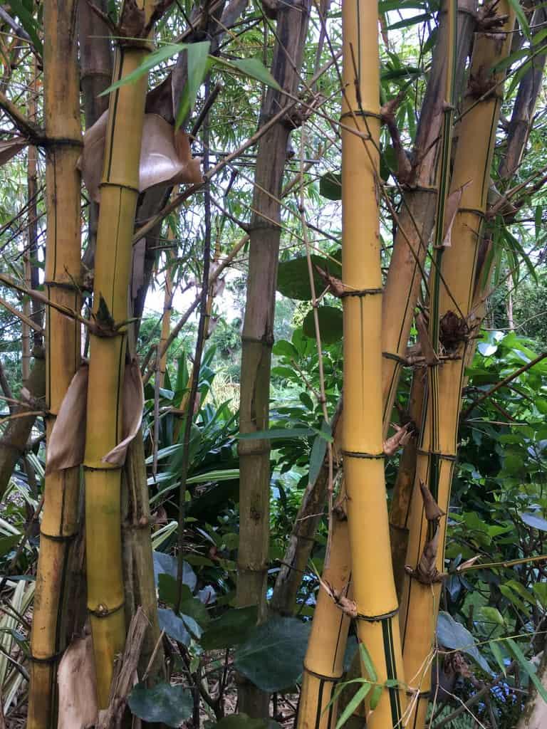 jardin-botanique-nature-fleur-caraibes-guadeloupe-basse terre-bambou