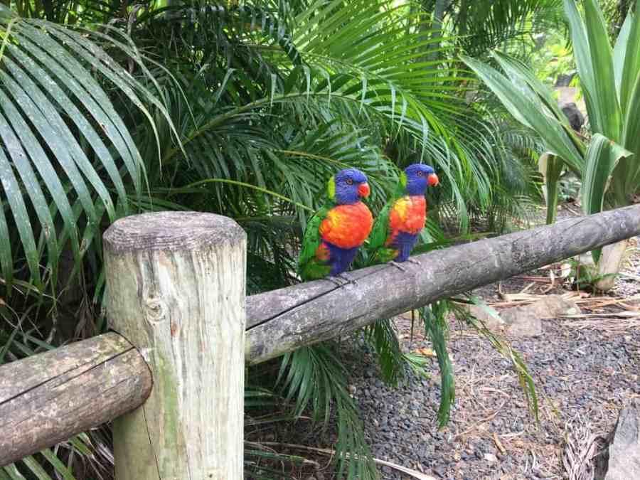 jardin-botanique-deshaies-guadeloupe-basse terre-nature-animaux-loriquet-couple