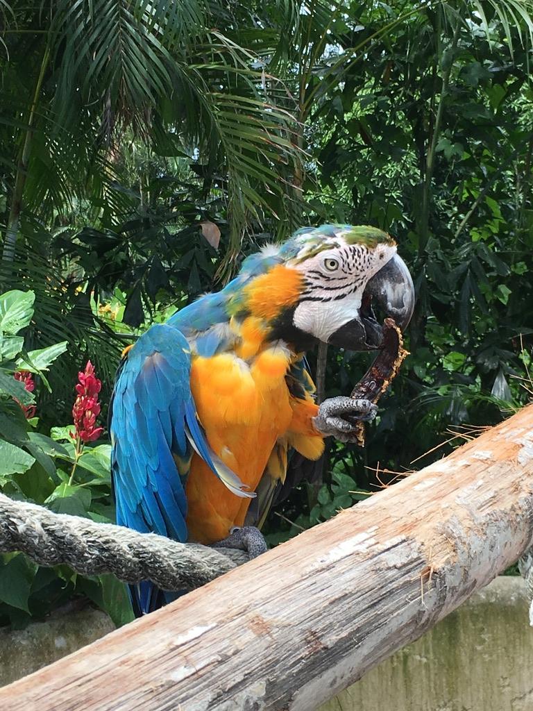 jardin-botanique-deshaies-guadeloupe-basse terre-nature-animaux-perroquet
