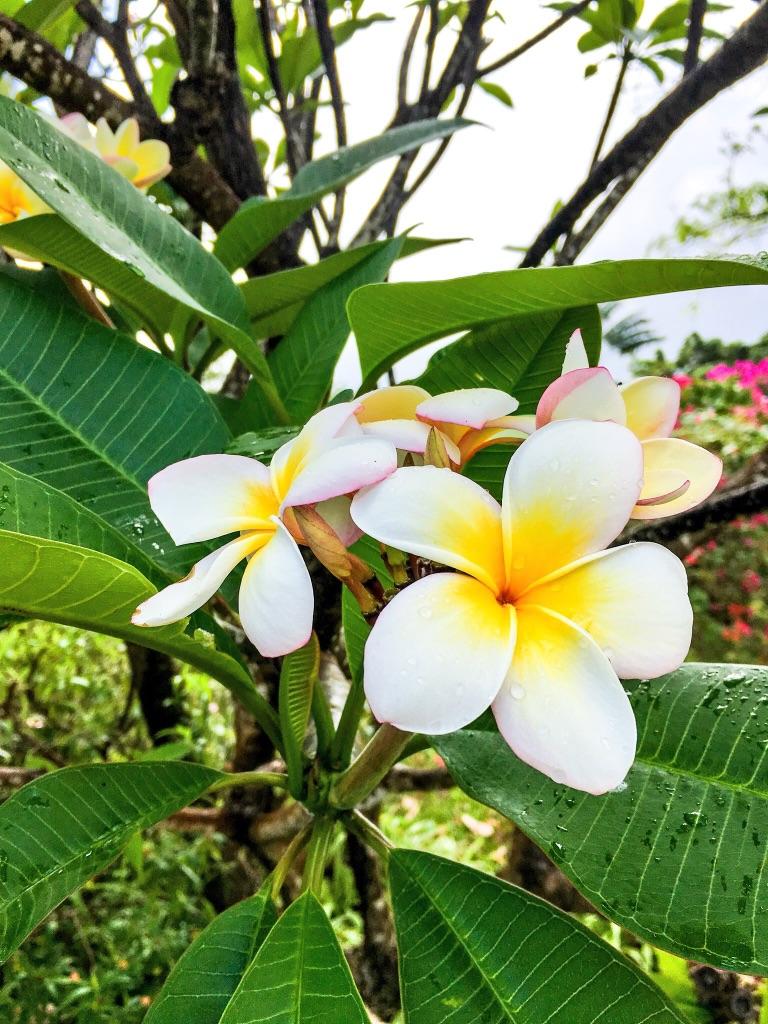 jardin-botanique-nature-fleur-caraibes-guadeloupe-basse terre-frangipanier