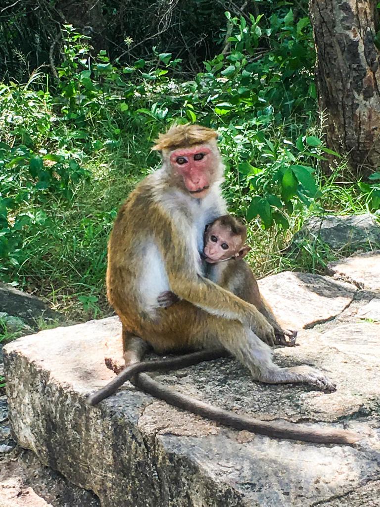 Un singe et son bébé à Dambulla au Sri Lanka