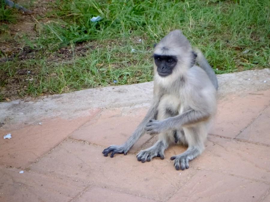 Un singe sur notre chemin au Sri Lanka