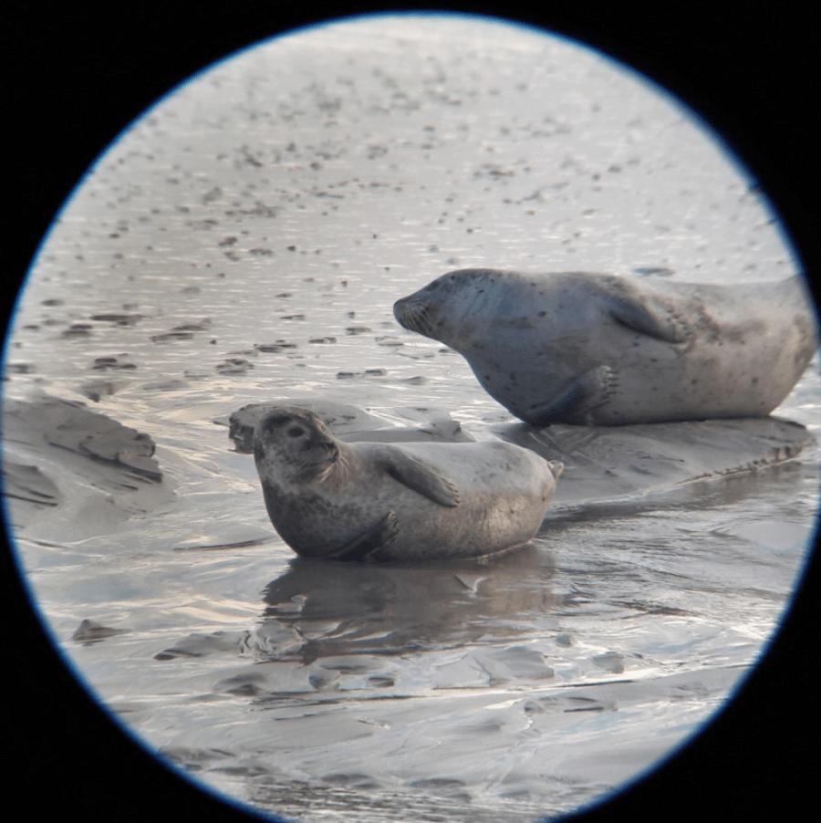 A la longue vue Colonie de phoques en baie d'authie