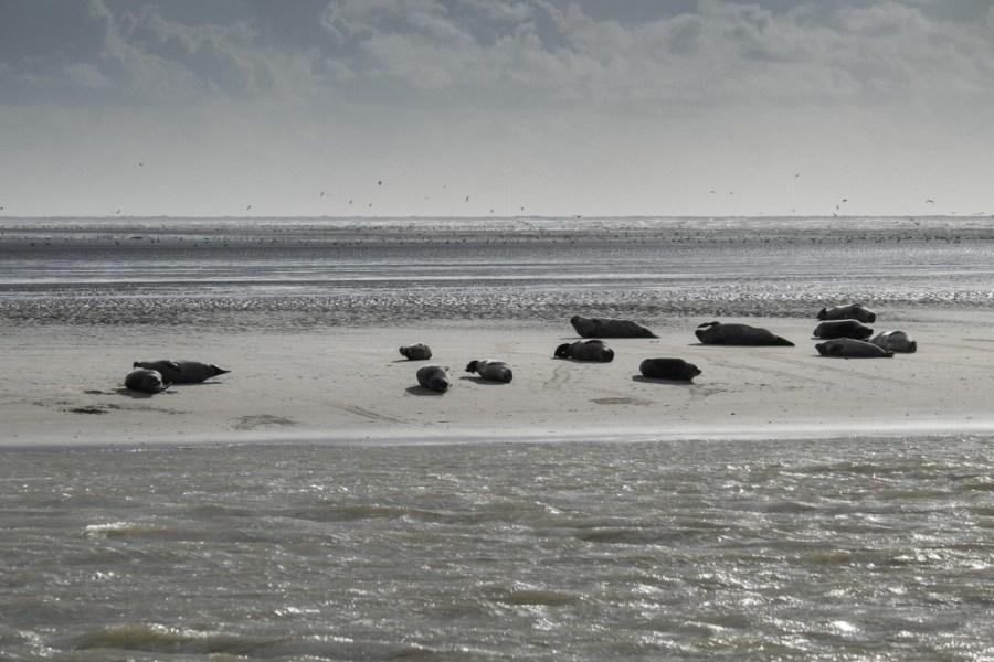 Colonie de phoques sur un banc de sable en baie d'authie