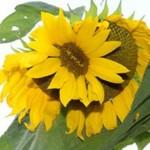 une-des-fleurs-de-ce-tournesol-a-pousse-sur-une-autre-depuis