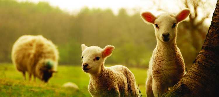 sheep-and-lamb-nature-hd-wallpaper