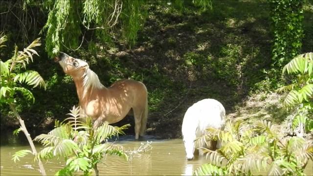 Deux chevaux buvant dans une marre