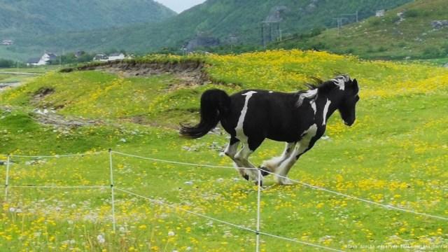 Cheval dans les plaines des Îles Lofoten