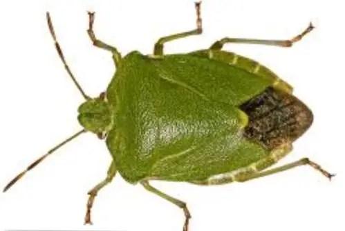 Comment se débarrasser des punaises vertes : palomena prasina