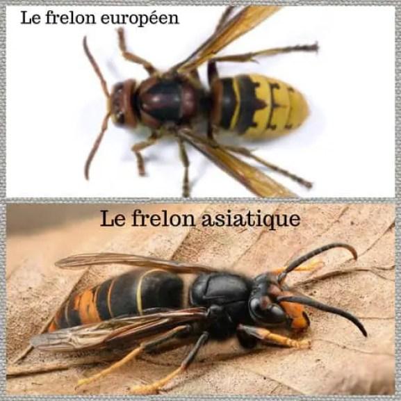frelon asiatique vs frelon européen